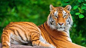 siberian tiger wallpaper desktop. Delighful Desktop Animals For U003e Tiger Wallpaper Desktop Hd And Siberian F
