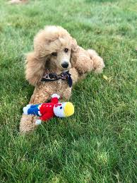 Pin by Iva Stanley on Standard Poodles | Poodle, Standard poodle, Puppies