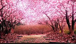 Cherry Blossom Tree Background - http ...