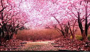Cherry Blossom Tree Background - http ...