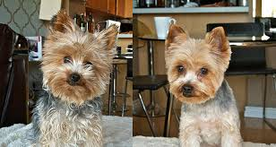 yorkshire terrier haircuts.  Yorkshire Yorkie Haircuts Throughout Yorkshire Terrier Haircuts O