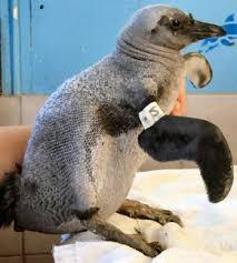 featherless penguin. Wonderful Penguin Featherless Naked Penguin Inside Featherless Penguin C