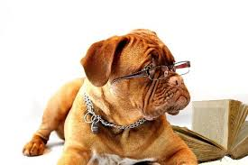 dogue de bordeaux wearing gles and studying a book