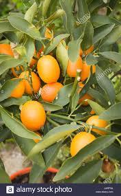 Fruits U0026 Nuts  Multiflora EnterprisesSmall Orange Fruit On Tree