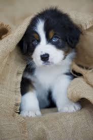 baby australian shepherd. Fine Shepherd Lou0027Sweet Babyu0027 Australian Shepherd  By Nicole Noack My Dog Never Once  Looked This Innocent Intended Baby H