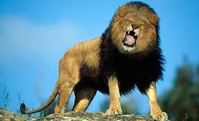 lioness roar front view. Exellent Lioness Download Intended Lioness Roar Front View H