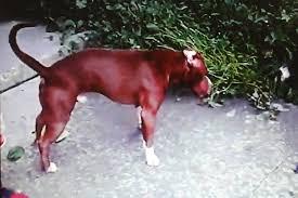 pitbull dog fights caught on tape. Wonderful Fights With Pitbull Dog Fights Caught On Tape