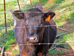 barbed wire fence cattle. A Cow Is In The Fence Which Made Of Many Barbed Wires. Wire Cattle E