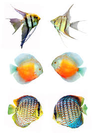 2480x3508 gone fishing watercolour discus fish alison fennell art tropical fish watercolor