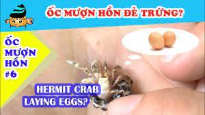 Ốc mượn hồn #4 - Cách nuôi ốc mượn hồn (Hermit crab #4 - How to take care  of hermit crabs) - YouTube