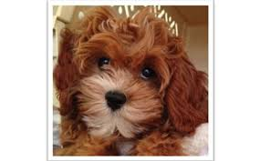 Cavachon Puppy Weight Chart Cavapoochon The Complete Owners Guide To The Cavapoochon