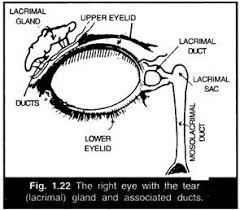 essay on eye structure working and defects the right eye the tear lacrimal gland and associated ducts