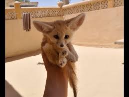 baby fennec fox. Perfect Fennec Pado The Baby Fennec Fox In Baby
