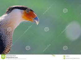 Karakara bird stock photo. Image of kara, bird, colorful - 13396102