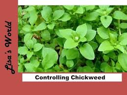 getting rid of chickweed.  Rid How To Keep Chickweed Under Control With Lisau0027s World With Getting Rid Of A