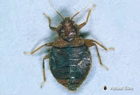 Bedbugs Images Picture Of Bedbugs