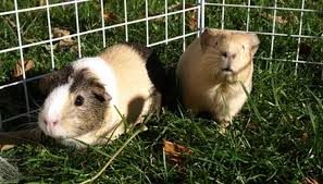 two guinea pigs sniffing image by curtis j alexander from fotolia com