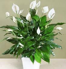 Стайните растения, които растат в ограничени почвени условия, изискват допълнително подхранване. Polzite Ot 9 Stajni Rasteniya Koito Da Bdat Vv Vashata Spalnya Info Box Julia Informacionnata Kutiya Na Yuliya