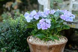 These annual plants do best in partial shade, as they don't like overly hot growing conditions. The Best Shrubs To Grow In Containers Bbc Gardeners World Magazine