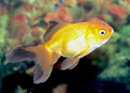 Goldfish Feeding Chart Oranda Goldfish Oranda Fancy Goldfish Information Care And