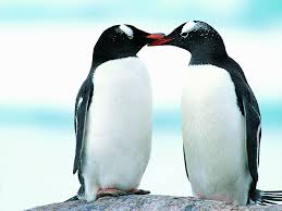 cute penguins in love. Delighful Love Cute Penguins In Love In