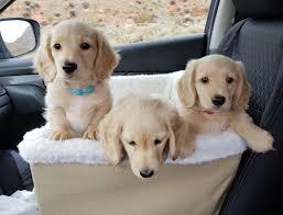akc dachshund puppies cream