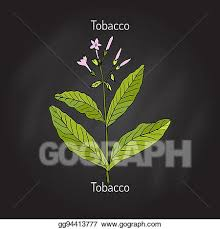 tobacco plant clipart. Wonderful Tobacco Tobacco Plant Vector Intended Plant Clipart T