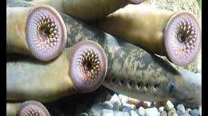 Lamprey eels