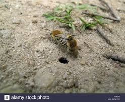 ground dwelling bees ground nesting bees colletes succinctus mating near nest hole