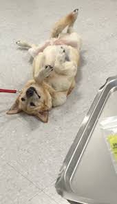 Canine Lymphoma Symptoms Canine Multicentric Lymphoma An Overview Todays