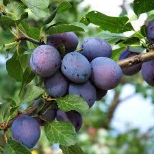 Httpsipinimgcom736x9ba12e9ba12e43383836fPlum Fruit Tree Varieties