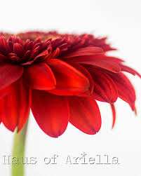 red gerbera daisy wall art