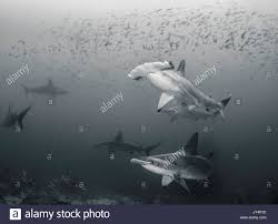 baby hammerhead sharks for sale.  Sharks Underwater View Of A School Scalloped Hammerhead Sharks Darwin Island  Galapagos Islands Intended Baby Hammerhead Sharks For Sale