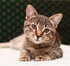 tabby cats 101 colors lifespan