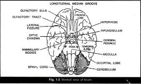essay on human brain structure and function ventral view of brain