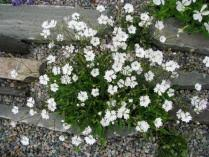 Plant of the Month for October 2018 | North American Rock Garden ...