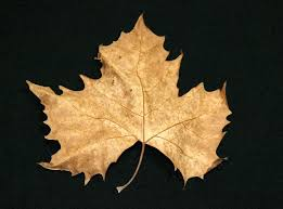 Image result for image of Fall Sycamore Tree leaves