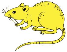 Rat — Wikipédia