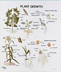 Plant Growth Wall Chart