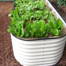 lettuce and chard growing in an urban garden