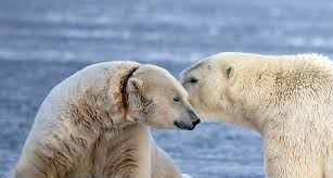 Is this polar bear really being choked by a research collar? | Globalnews.ca
