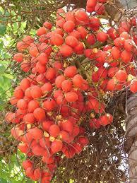 Unripe Dates Fruits On The Palm Tree Stock Photo  ThinkstockPalm Tree Orange Fruit