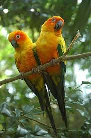 Sun Conure Weight Chart Sun Parakeet Wikipedia
