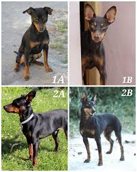 Manchester Terrier Size Chart Manchester Terrier Vs Miniature Pinscher Similarities And