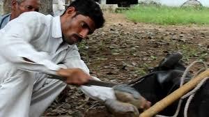 nailing buffalo s hoof animal