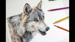 gray wolf drawing colored. Fine Colored HOW TO DRAW A REALISTIC WOLF  Colored Pencil Drawing Tutorial In Gray Wolf T
