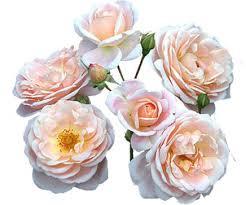 garden roses. Premium Garden Roses I