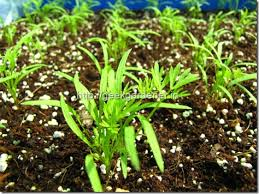 carrot plant stages. Brilliant Stages Growing Carrots In Containers With Carrot Plant Stages R