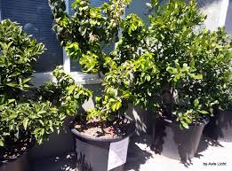 fruit trees in containers