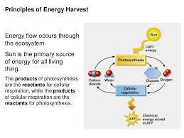 Cell Energy Flow Chart Photosynthesis And Cellular Respiration Answer Key 2016 Cellular Respiration And Photosynthesis